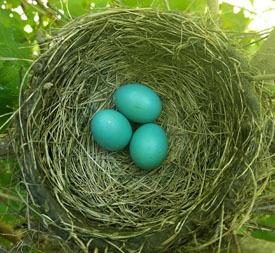 eggs of American robin