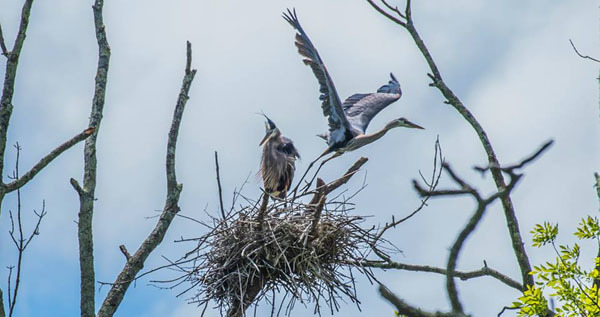 great blue herons at nest - photo courtesy of Will Cook - see 5/31/17