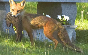 red fox with woodchuck