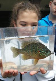 male pumpkinseed sunfish