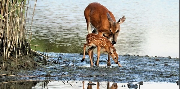 white-tailed deer with fawn (see 6/15) - photo courtesy of Vlad Smith