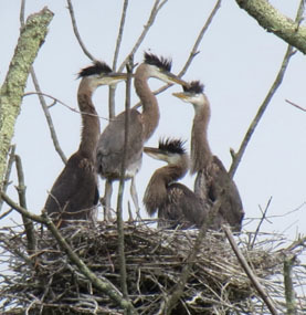 nestling great blue herons