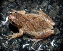 image of a Spring Peeper