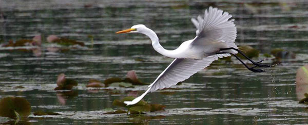 great egret (see 6/23) - photo courtesy of Deb Tracy-Kral
