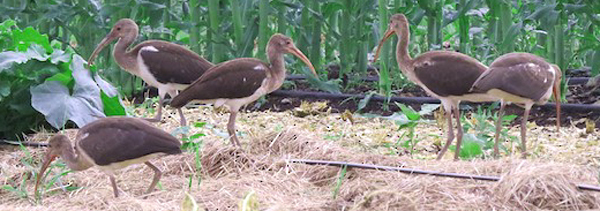 white ibis - photo courtesy of Kent Warner (see 7/13)