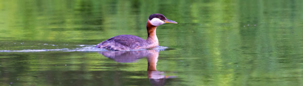 red-necked grebe (see 7/26) - photo courtesy of Sharon Askew