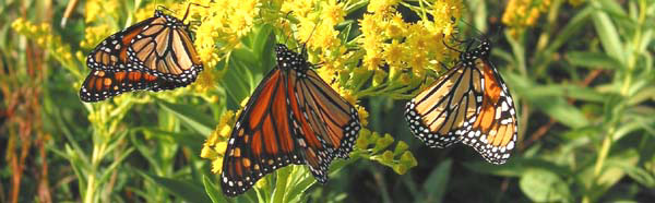 monarch butterflies - photo courtesy of Steve Stanne
