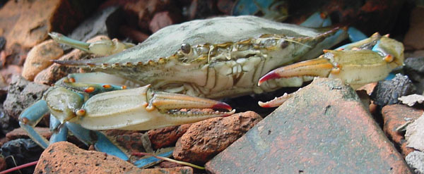 blue crab - photo courtesy of DEC's Hudson River Fisheries Unit