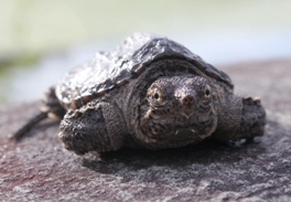 Juvenile snapping turtle