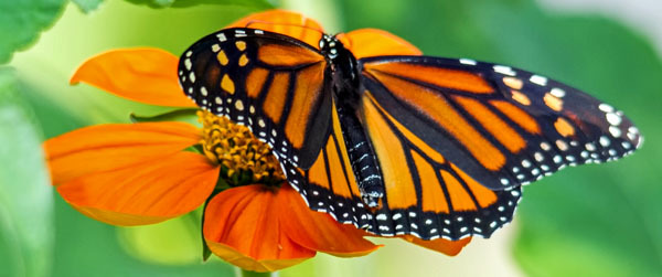 monarch butterfly - photo courtesy of Bob Rightmyer