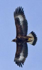 immature golden eagle