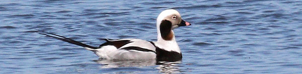 long-tailed duck - photo courtesy of Deborah Tracy-Kral (see 10/28)