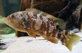 tautog (blackfish)