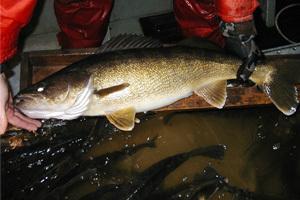 Oneida Lake Walleye