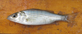 young striped bass