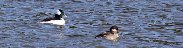 buffleheads (see 11/11/17 at Croton) - photo courtesy of Edward Mertz