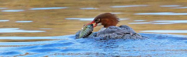 Common Merganser w/bluegill - courtesy Deborah Tracy-Kral: see 11/23