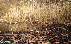 stolon extending from phragmites bed