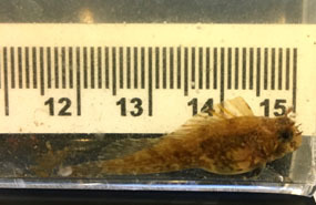Feather blenny courtesy of Haley McClanahan