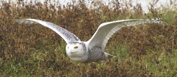 Snowy Owl courtesy of Louis Suarato (see 12/4)