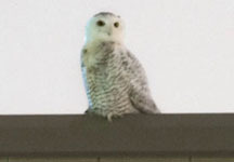 Snowy Owl courtesy of Matt Zeitler