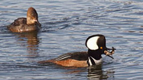 Photo of hooded merganser