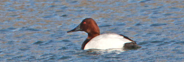 Photo of a canvasback - courtesy of Deborah Tracy-Kral (see 12/13)