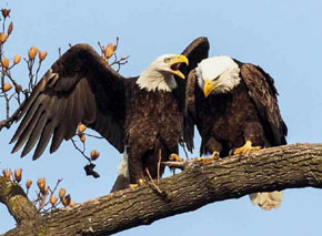 perched pair of adult bald eagles