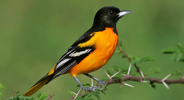 Baltimore Oriole courtesy of Audobon.org (see 5/24)