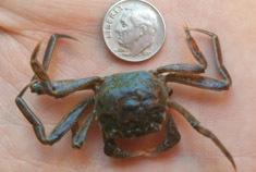 White-fingered mud crab