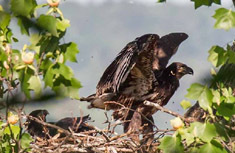 Bald eagles nestlings