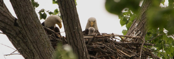 Nestling bald eagle courtesy of Kaare Christian (see 5/31)