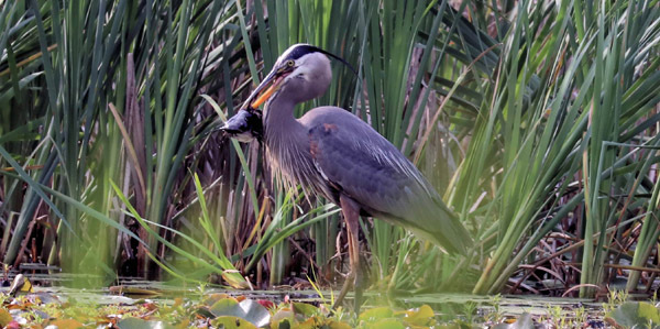 Great blue heron with brown bullhead courtesy of Roger Pare (see 6/9)