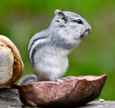 Gray chipmunk