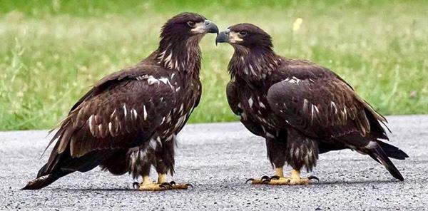 Bald eagle fledglings courtesy of Bob Rightmyer