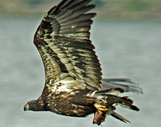 Fledgling bald eagle with a channel catfish