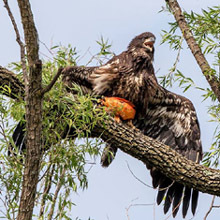 Fledgling bald eagle with goldfish