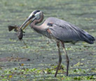 Great blue heron with brown bullhead