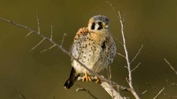 American kestrel courtesy of U.S. Fish and Wildlife Service (see 9/4)