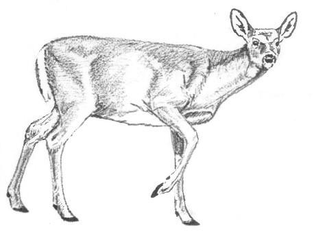 adult doe