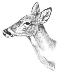 doe head