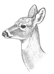 fawn head