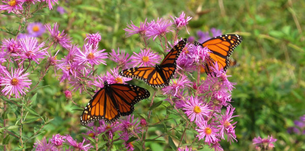 Monarch butterflies courtesy of Cara Giaimo (see 10/3)