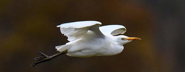 Cattle egret courtesy of Deborah Tracy-Kral (see 10/28)