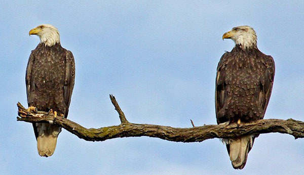 Bald eagle pair at NY372 courtesy of Dana Layton (see 12/11)