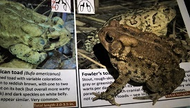 American toad on identification guide. Photo by Laura Heady
