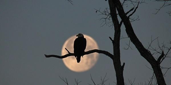 Photo of blood moon and bald eagle courtesy of Dana Layton (see 1/20)