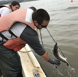 Fisheries biologists pull in a gill net with a juvenile sturgeon.