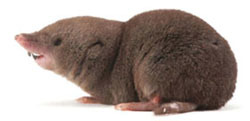 Short-tail shrew