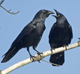 Fish crows